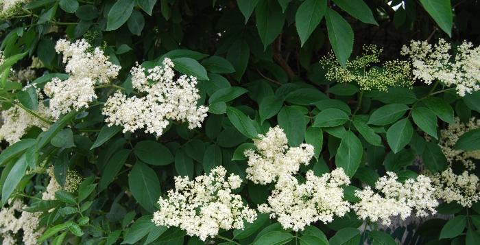 Elderflowers in flower